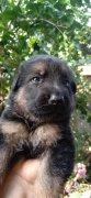 纯种德国牧羊犬