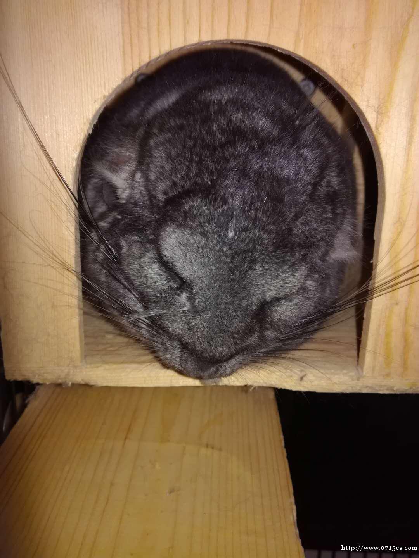 家有萌宠龙猫标灰弟弟急求领养